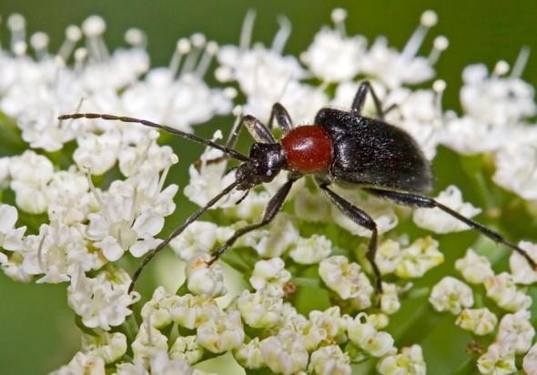 Dinoptera collaris - Blauschwarzer Kugelbock - UFam. Lepturinae - Cerambycidae - Bockkäfer - long-horned beetles