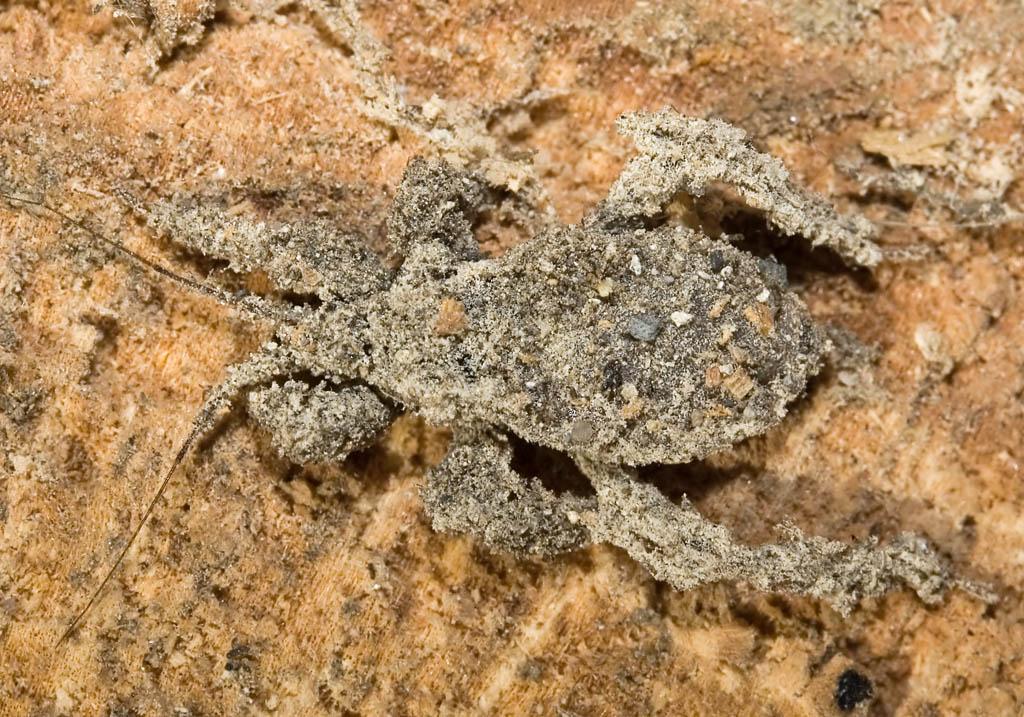 Reduvius personatus - Kotwanze (Nymphe) - Fam. Reduviidae - Raubwanzen - Heteroptera - Wanzen - true bugs
