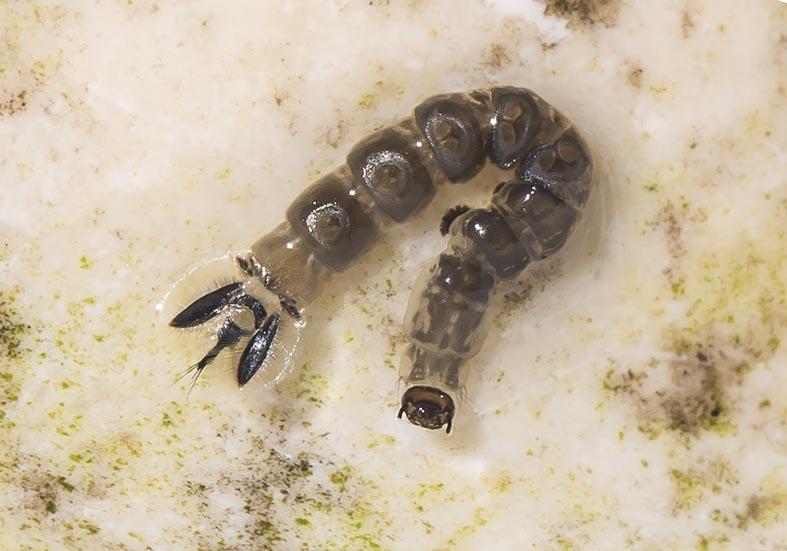 Dixa puberula - Fam. Dixidae - Tastermücken - aquatische Dipteren-Larven