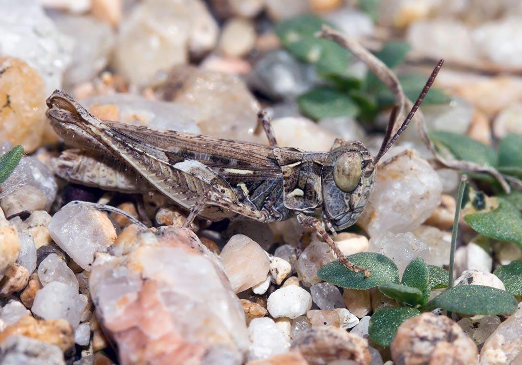 Dociostaurus jagoi - Fam. Acrididae/Gomphocerinae  -  Sardinien - Caelifera - Kurzfühlerschrecken - grasshoppers