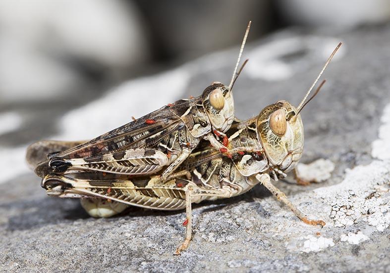 Dociostaurus maroccanus  - Marokkanische Wanderheuschrecke - Fam. Acrididae/Gomphocerinae  -  Pilion (Griechenland) - Caelifera - Kurzfühlerschrecken - grasshoppers