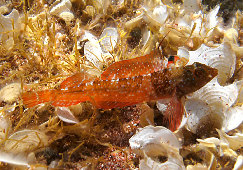 Tripterygion-tripteronotus - Spitzkopf-Schleimfisch -  - Pisces - Fische - fish
