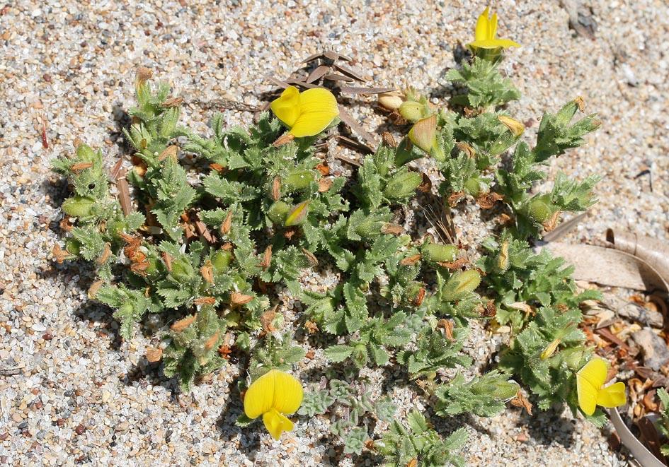 Ononis variegata - Bunter Hauhechel - villous restharrow -  - Saline Lebensräume - saline environments