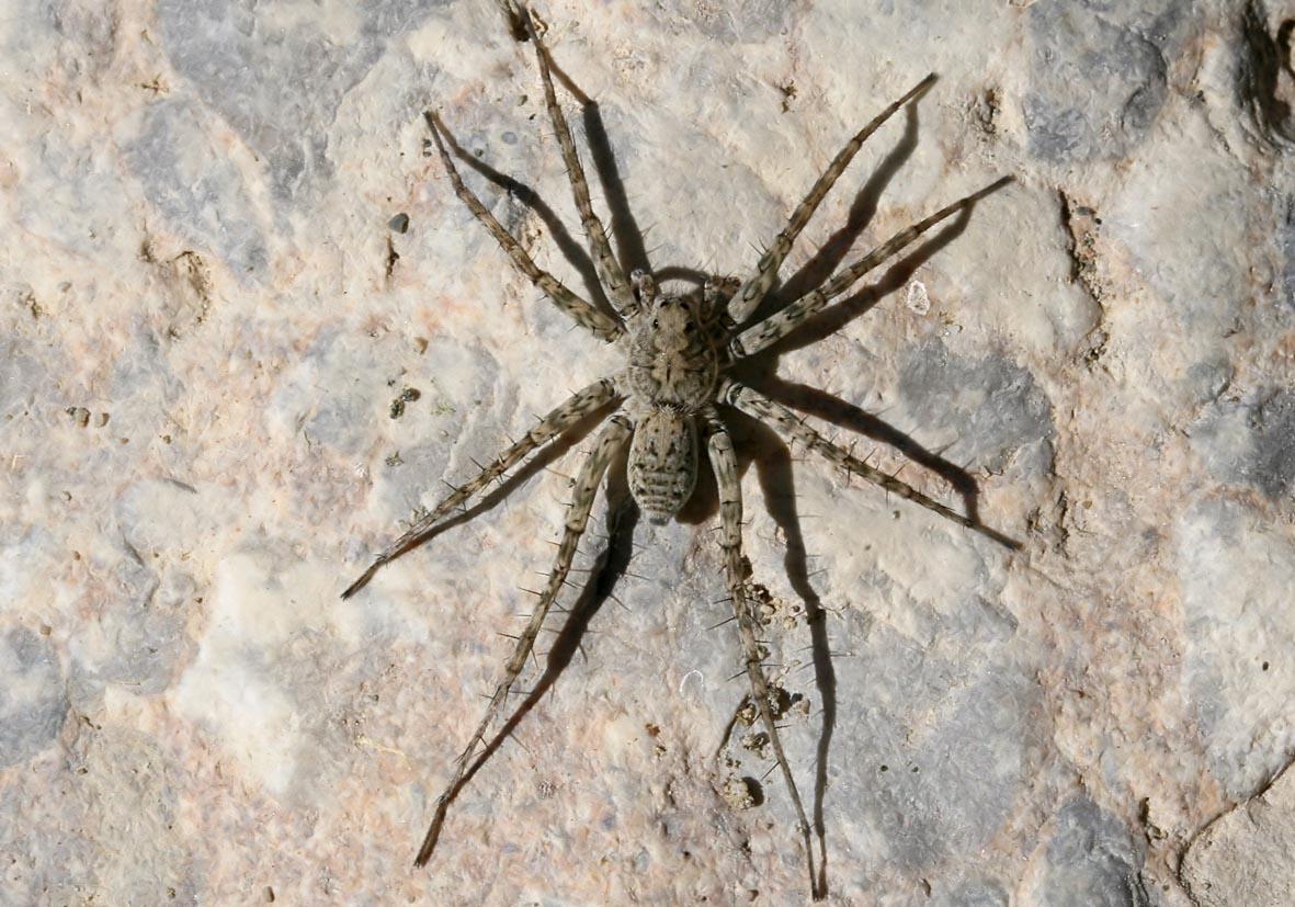 Pardosa atomaria - Fam. Lycosidae  -  Rhodos - Araneae - Webspinnen - orb-weaver spiders