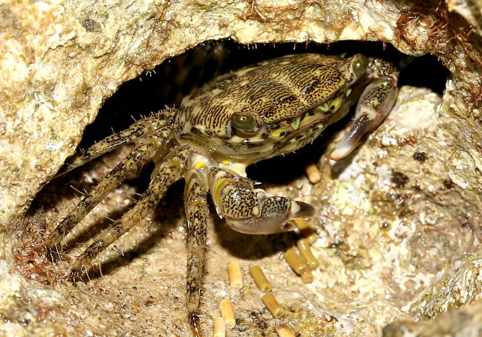 Pachygrapsus marmoratus - Felsenkrabbe - Samos - Brachyura - Krabben - crabs
