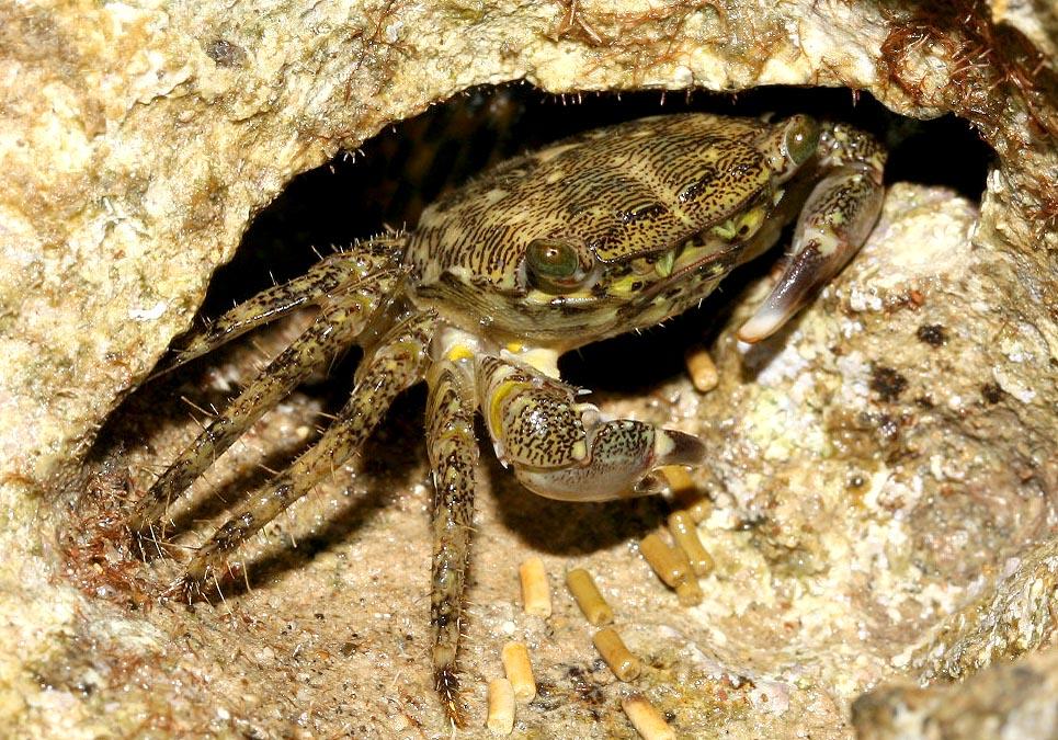 Pachygrapsus marmoratus - Felsenkrabbe -  - Crustacea - Krebstiere - crustaceans