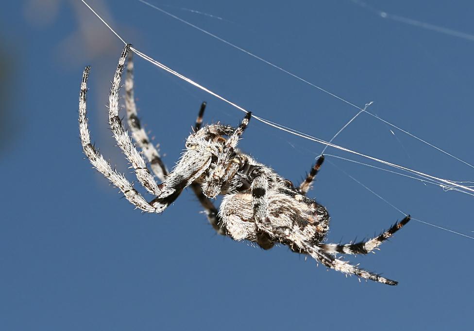 Araneus circe - Kreuzspinne - Fam. Araneidae  -  Rhodos - Araneae - Webspinnen - orb-weaver spiders