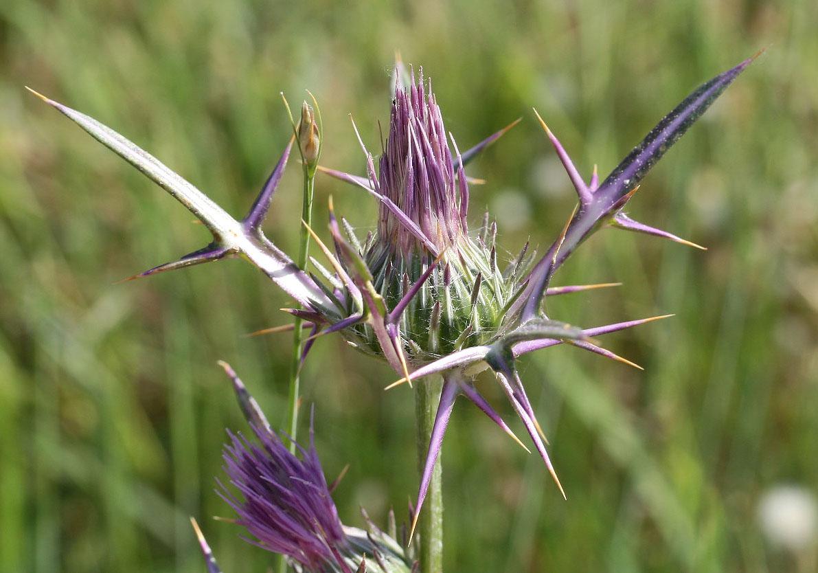 Notobasis syriaca - Syrische Kratzdistel -  - Ruderal vegetation