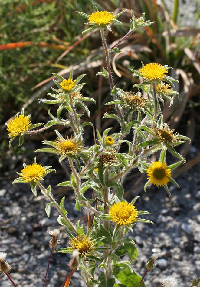 Pallenis spinosa - Stechendes Sternauge - spiny starwort -  - Gras- und Felsfluren - grassy and  rocky terrains