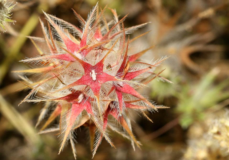 Trifolium stellatum - Behaarter Sternklee - star glover -  - Gras- und Felsfluren - grassy and  rocky terrains