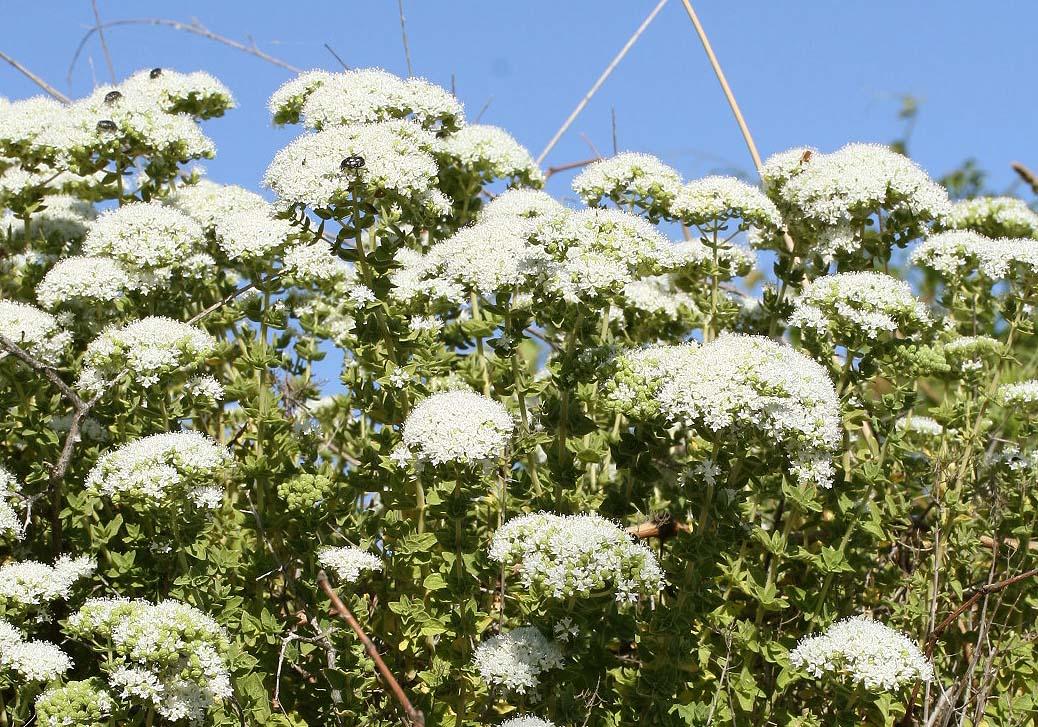 Origanum onites - Griechischer Dost - pot marjoram  -  - Phrygana