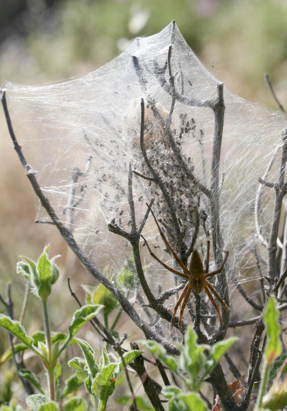 Pisaura mirabilis - Listspinne - Fam. Pisauridae  -   Nisyros - Araneae - Webspinnen - orb-weaver spiders