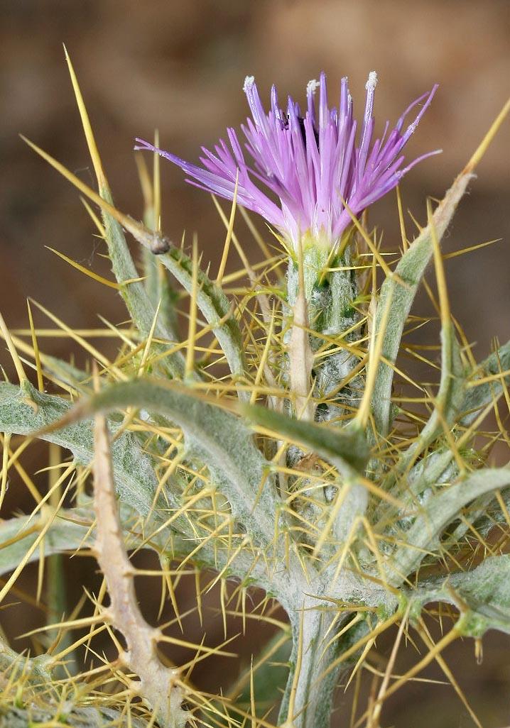 Picnomon acarna - Akarna-Kratzdistel - soldier thistle -  - Ruderal vegetation