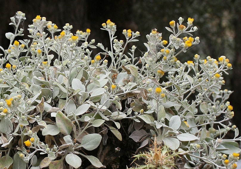 Inula verbascifolia - Schneeweißer Alant -  - Felsen - rocks