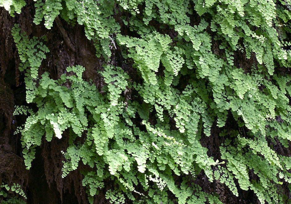 Adiantum capillus-veneris - Frauenhaarfarn - maidenhair fern -  - Fluss - River
