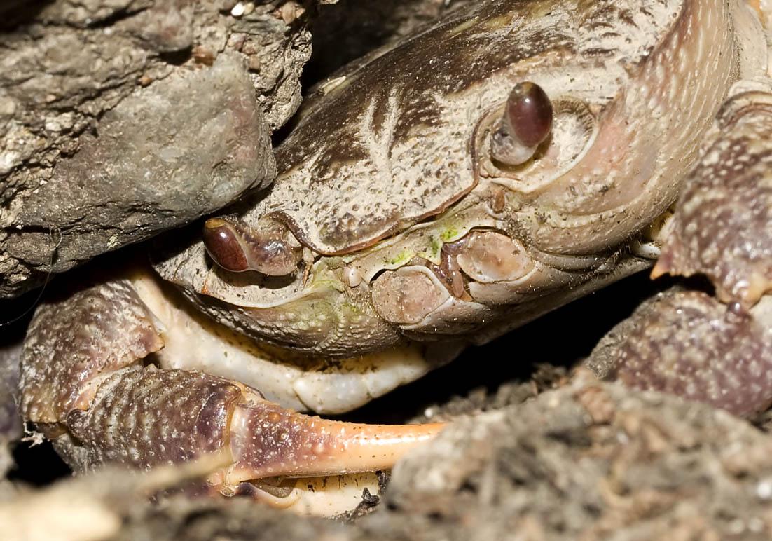 Rhodos - Süßwasserkrabbe (Potamon rhodium) - Schmetterlingstal - Rhodos