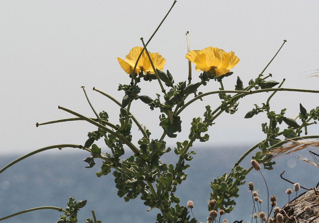 Glaucium flavum - Gelber Hornmohn - yellow horned poppy -  - Ruderal vegetation