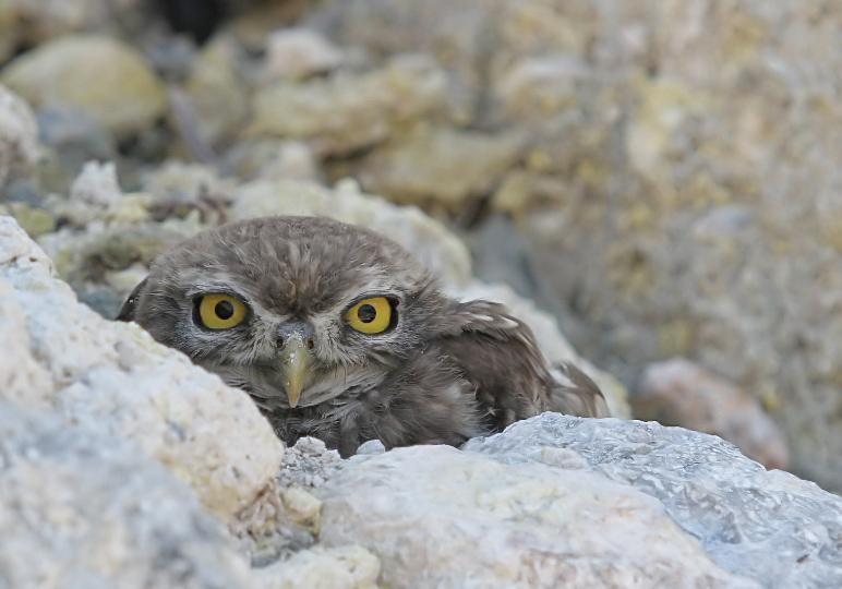 Athene noctua - Steinkauz - Nisyros - Aves - Vögel - birds