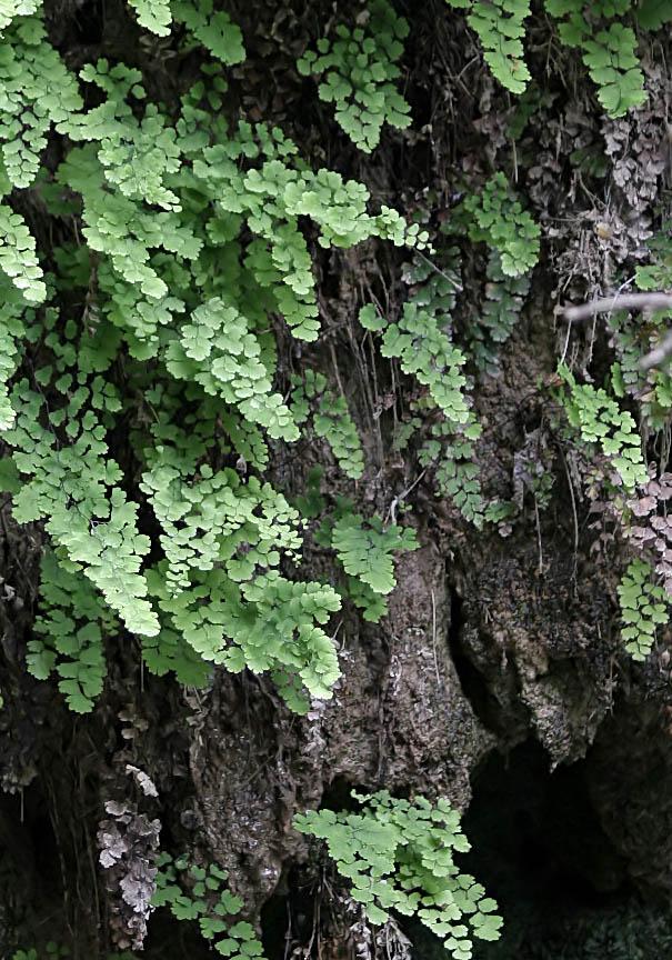 Rhodos - Adiantum capillus-veneris (Frauenhaarfarn) - Schmetterlingstal - Rhodos