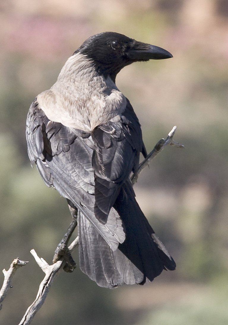 Corvus corone - Nebelkrähe - Hooded crow -  - Corvidae - Rabenvögel - corvids