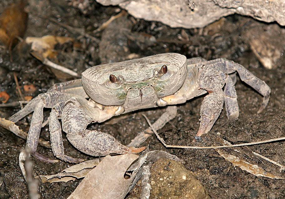 Potamon rhodium - Süßwasserkrabbe - Rhodos - Brachyura - Krabben - crabs