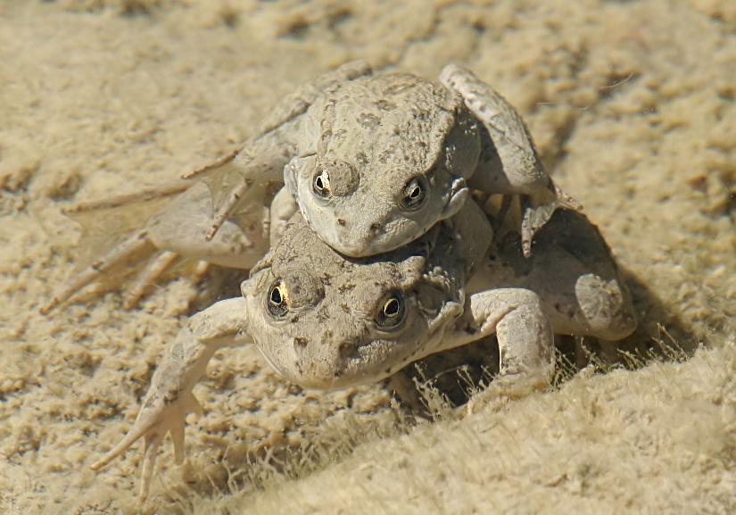 Pelophylax cerigensis - Karpathos-Wasserfrosch - Rhodos - Ranidae - Frösche - frogs