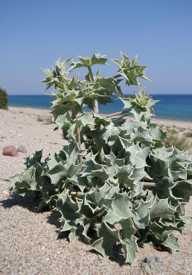 Eryngium maritimum - Stranddistel - sea holly -  - Saline Lebensräume - saline environments