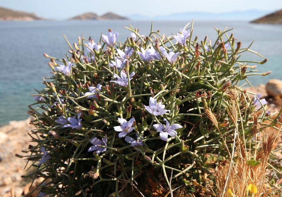 Cichorium spinosum - Dornige Wegwarte - spiny chicory -  - Gras- und Felsfluren - grassy and  rocky terrains