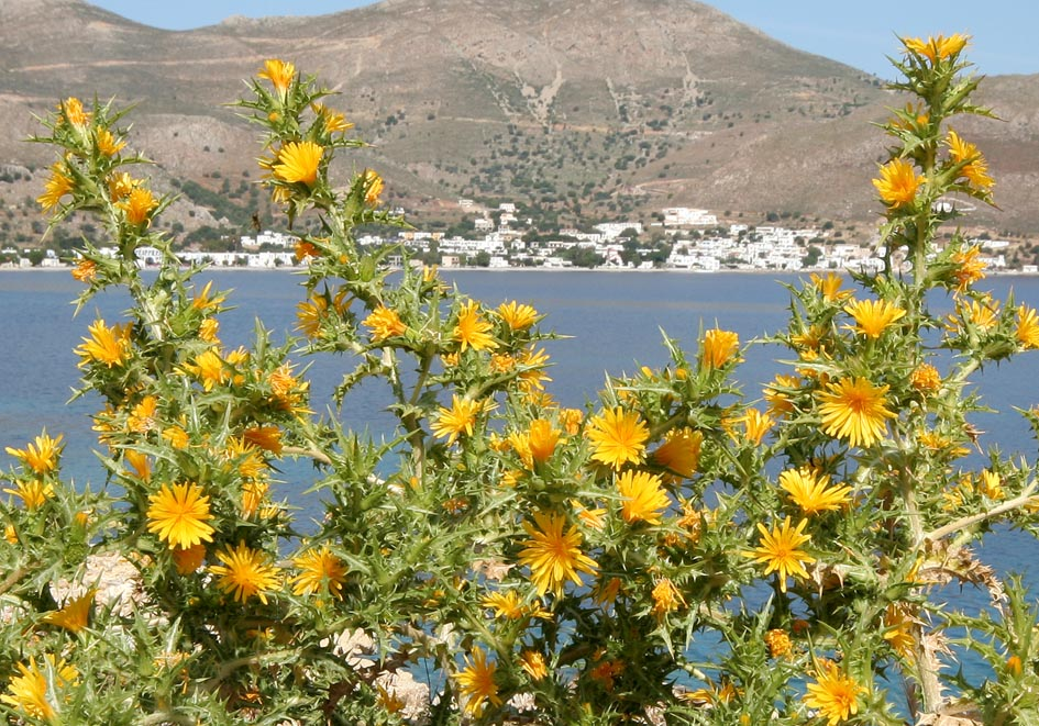 Scolymus hispanicus - Spanische Golddistel - Spanish oyster plant -  - Ruderal vegetation