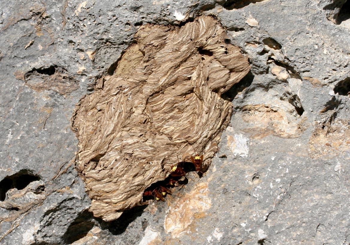 Vespa orientalis - Orientalische Wespe  - Nest (Kos) - Vespidae - Faltenwespen -wasps