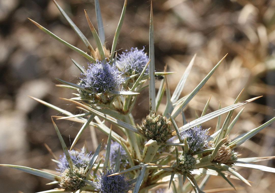 Eryngium amethystinum - Stahlblaues Mannstreu - amethyst sea holly  -  - Ruderal vegetation