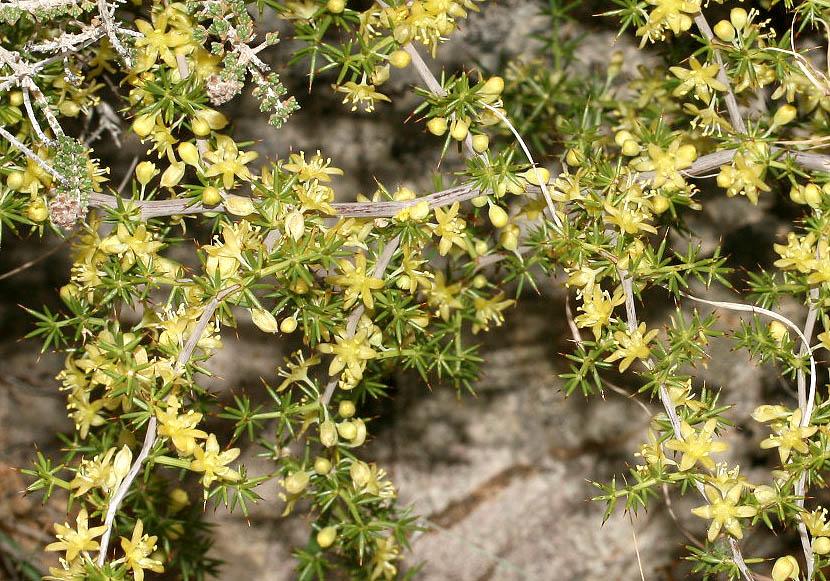 Asparagus aphyllus - Blattloser Spargel -  - Phrygana