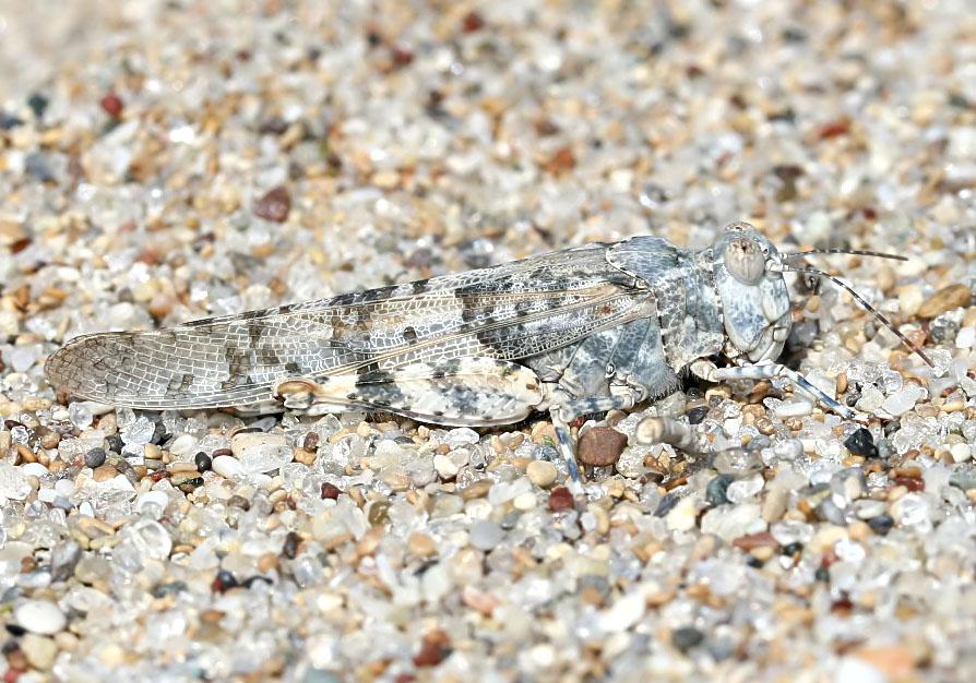 Sphingonotus cf crevellarii - Fam.  Acrididae/Oedipodinae  -  Kos - hellblaue Hinterflügel - Caelifera - Kurzfühlerschrecken - grasshoppers