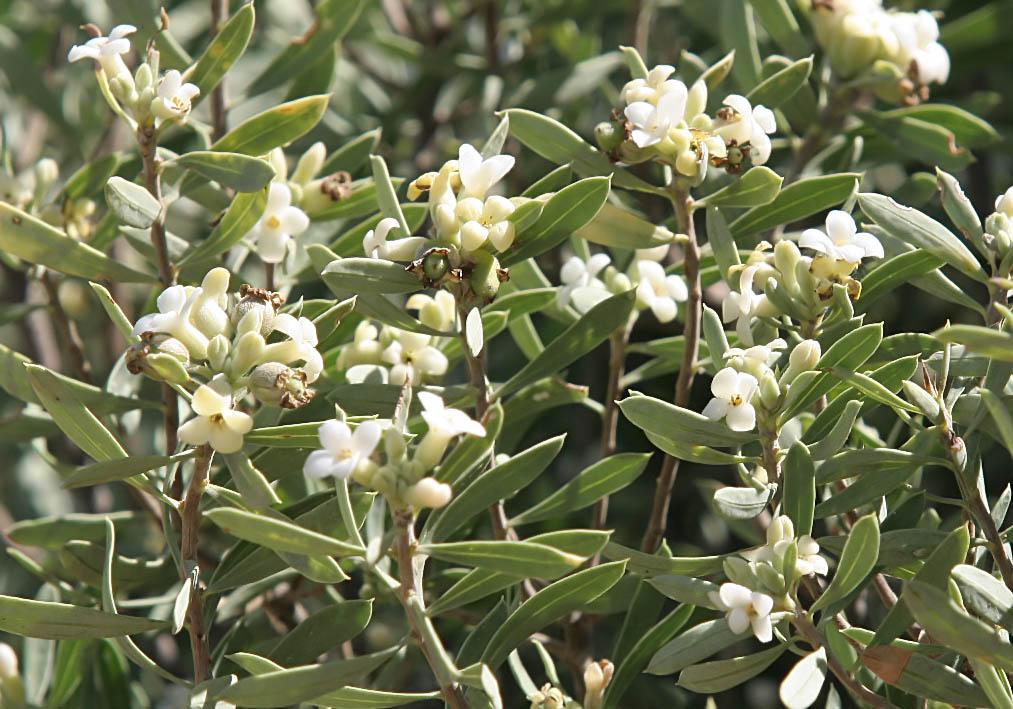 Daphne gnidium - Herbst-Seidelbast -  - Phrygana