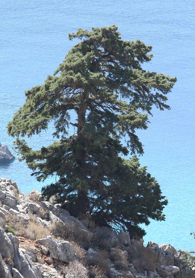 Cupressus sempervirens - Mittelmeer-Zypresse - mediterranean cypress  -  - Wald - Forest