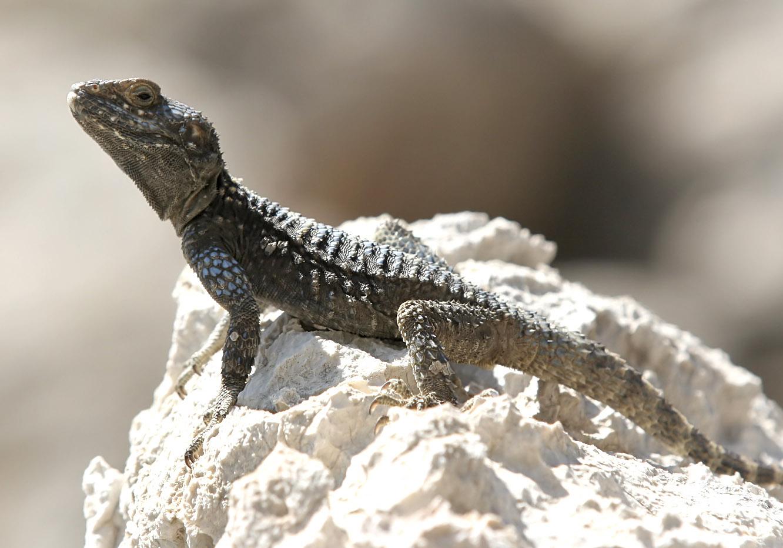 Laudakia stellio - Hardun - Symi - Lacertilia - Echsen - lizards