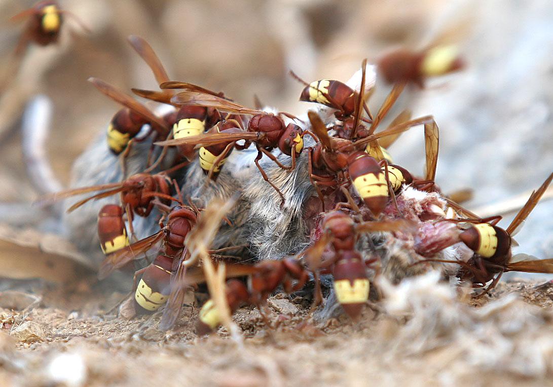 Vespa orientalis - Orientalische Wespe  - mit einer toten Maus (Symi) - Vespidae - Faltenwespen -wasps