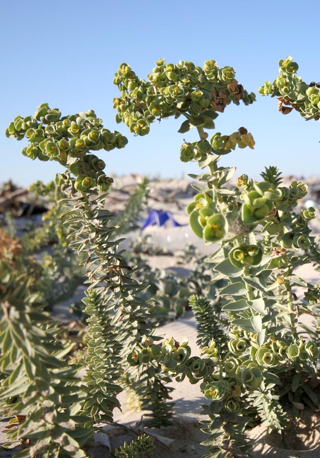 Euphorbia paralis - Strand-/Dünen-Wolfsmilch - sea spurge -  - Saline Lebensräume - saline environments