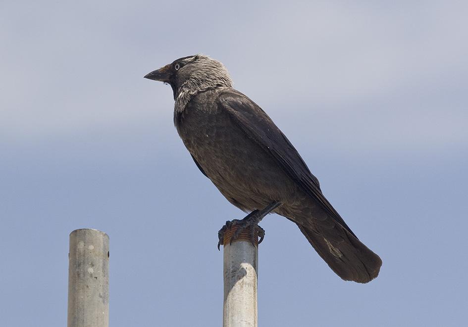 Corvus monedula - Dohle - Tilos - Aves - Vögel - birds