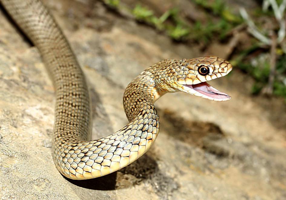 Dolichophis caspius - Kaspische Pfeilnatter - Andros - Serpentes - Schlangen - snakes