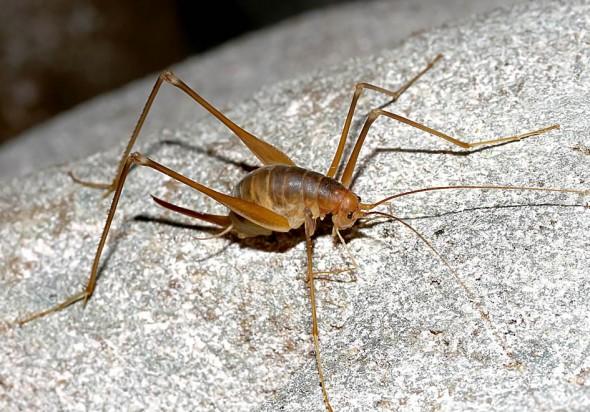 Dolichopoda steriotisi - Fam. Rhaphidophoridae  (Höhlenschrecken)  - Corfu-Endemit - Ensifera - weitere Familien - other families