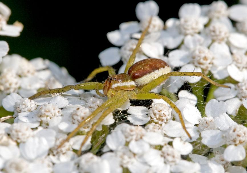 Dolomedes sp. (Raubspinne) - Fam. Pisauridae  -   Slovenien - Araneae - Webspinnen - orb-weaver spiders