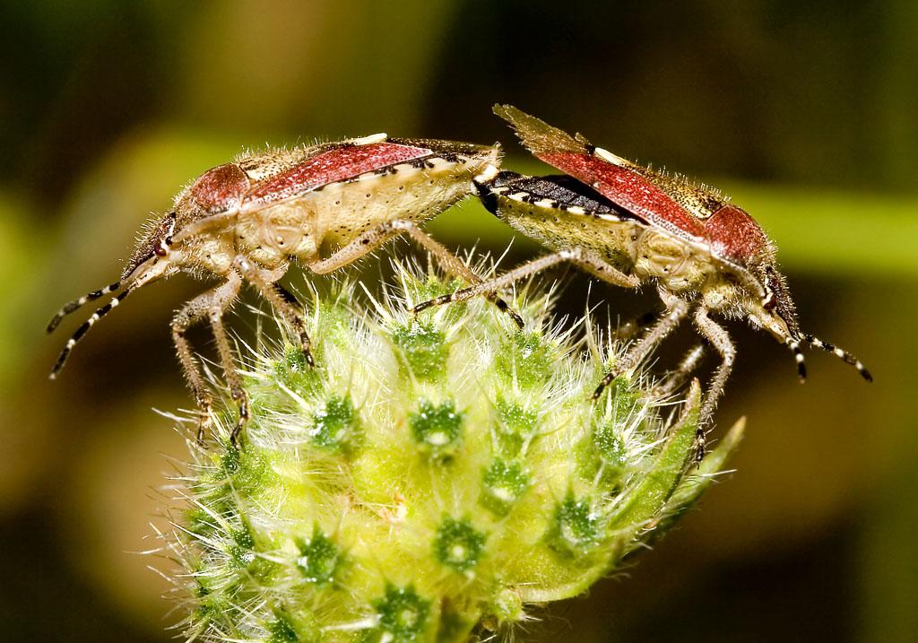 Dolycoris baccarum - Beerenwanze - Fam. Pentatomidae - Baumwanzen - Heteroptera - Wanzen - true bugs