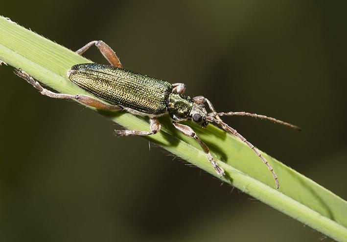 Donacia clavipes - Schilfkäfer -  - Chrysomelidae - Blattkäfer - leaf beetles