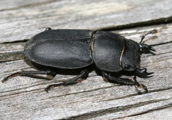 Dorcus parallelipedus - Balkenschröter -  - Lucanidae - Schröter - stag beetles