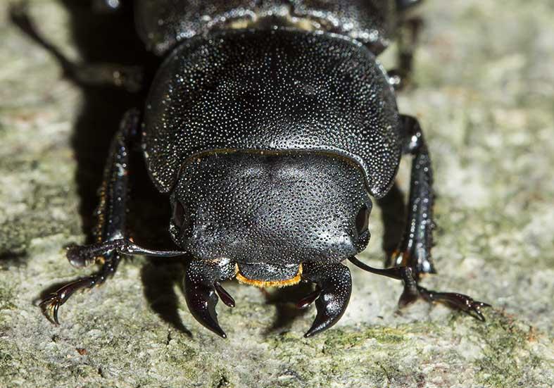Dorcus parallelipipedus - Balkenschröter -  - Lucanidae - Schröter - stag beetles