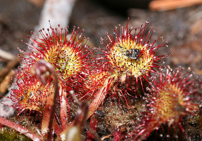 Drosera rotundifolia - Rundblättriger Sonnentau - Fam. Droseraceae - Feuchtgebiete - wetlands
