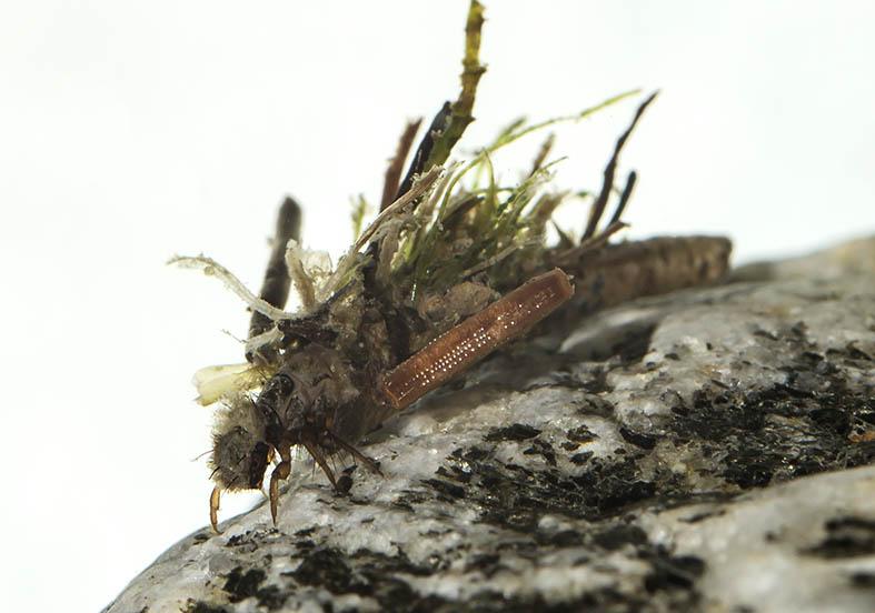 Drusus discolor -  - Trichoptera - Köcherfliegen - daddisflies