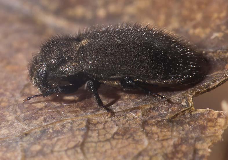 Dryops sp. - Klauenkäfer an Land - Fam. Dryopidae - weitere Käferfamilien - other beetle families