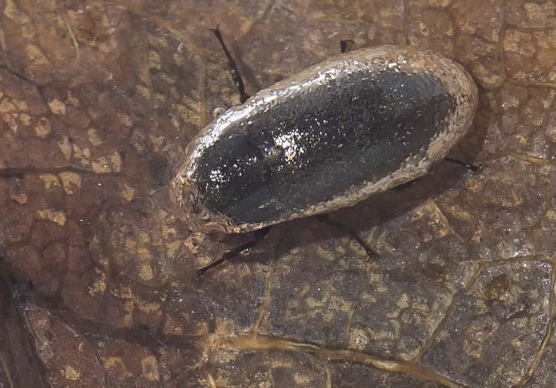 Dryops sp. Klauenkäfer im Wasser - Fam. Dryopidae - weitere Käferfamilien - other beetle families